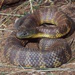 tiger_snake_main